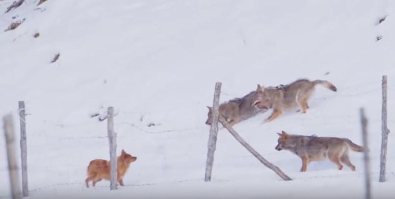 Kada tri vuka krenu na jednog psa (VIDEO)