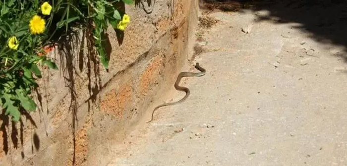Šta uraditi u slučaju da sretnete zmiju