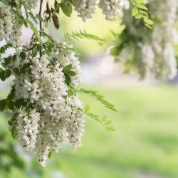 Bagremov cvijet i hrani i liječi