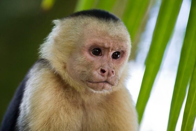 Naučnici ubacili ljudski gen u mozak majmuna, rezultat - iznenađujuć