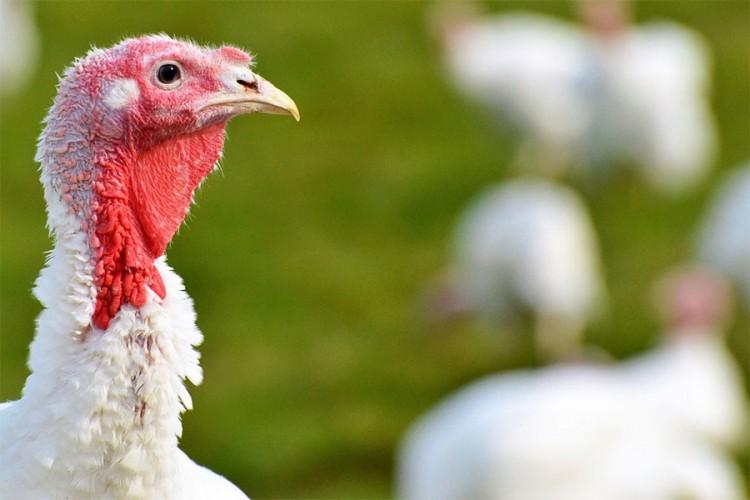 U Hrvatskoj registrovan ptičji grip