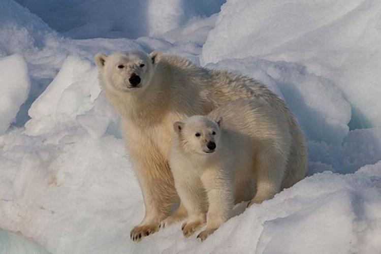 Oko 30 polarnih medvjeda se približilo ruskom selu