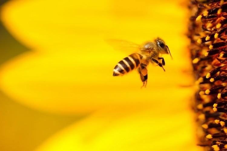 Pčele nestaju, naučnici zabrinuti