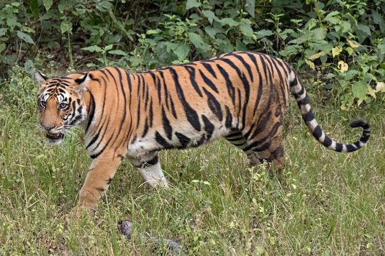 Tigrice ubile čuvara i pobjegle iz zoološkog vrta